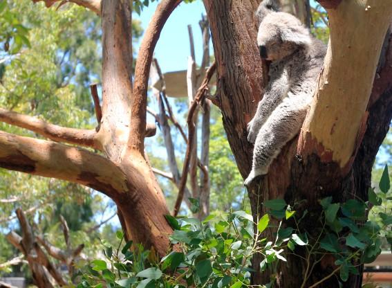 A koala sleeps in a tree.