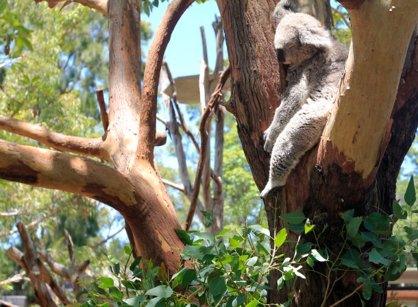A koala sleeps in a tree.