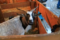 Many Christmas markets had livestock such as goats, she eps, and ponies for kids.